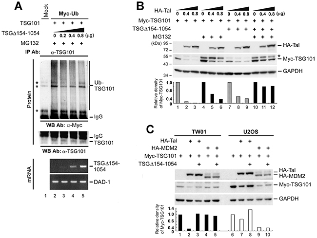 TSGΔ154-1054 protects TSG101 from proteasomal degradation mediated by Tal but not MDM2.