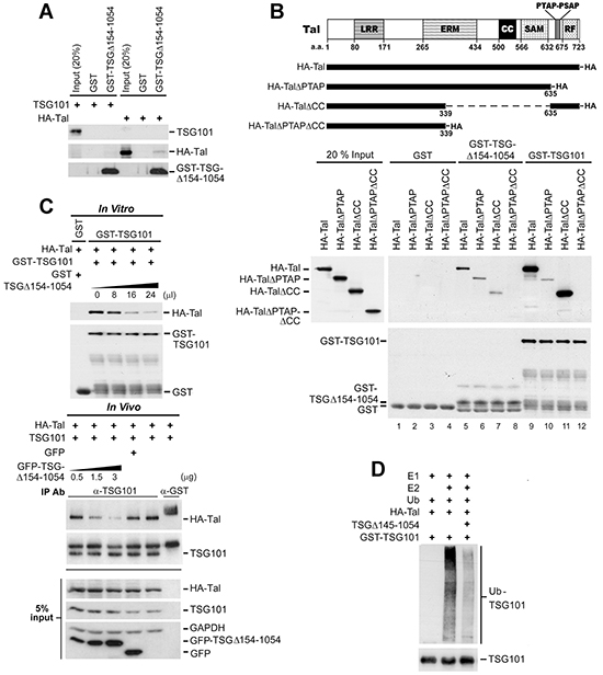 TSGΔ154-1054 competes with TSG101 for binding Tal thereby diminishing Tal-mediated polyubiquitination of TSG101.