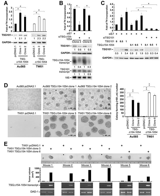 TSGΔ154-1054 augments the functional activities of TSG101.