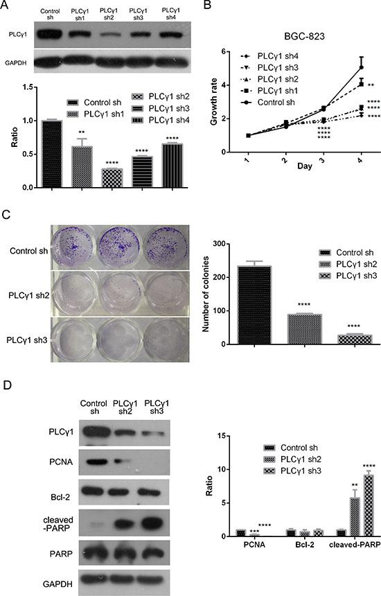 Lentivirus-mediated PLCγ1 shRNA could block proliferation in human gastric adenocarcinoma BGC-823 cells.