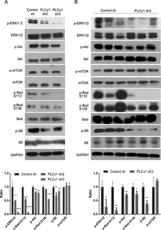 Effect of PLCγ1 inhibition on signal molecules associated with tumor growth and metastasis of human gastric adenocarcinoma.