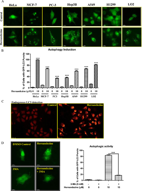 Hernandezine induced autophagy in a panel of cancer and normal cells.