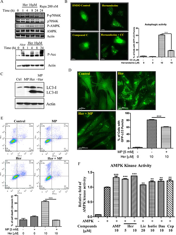 Role of the AMPK-mTOR signalling cascade in hernandezine-induced autophagy.