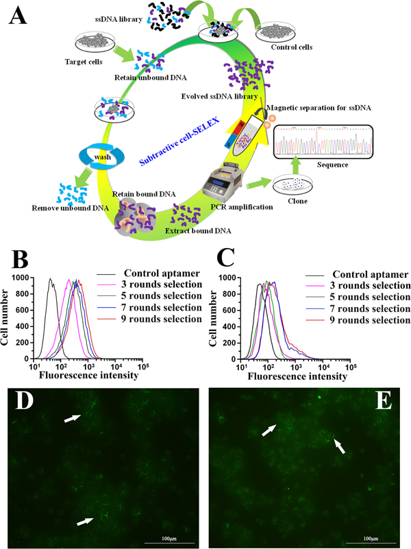 Identification of aptamer that specifically targets metastatic HCC.