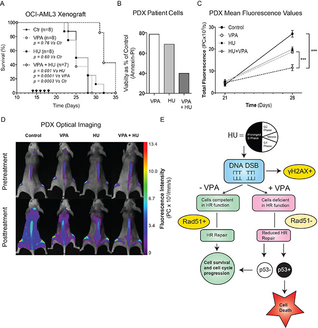 Combinational therapy of HU and VPA represses AML in vivo.