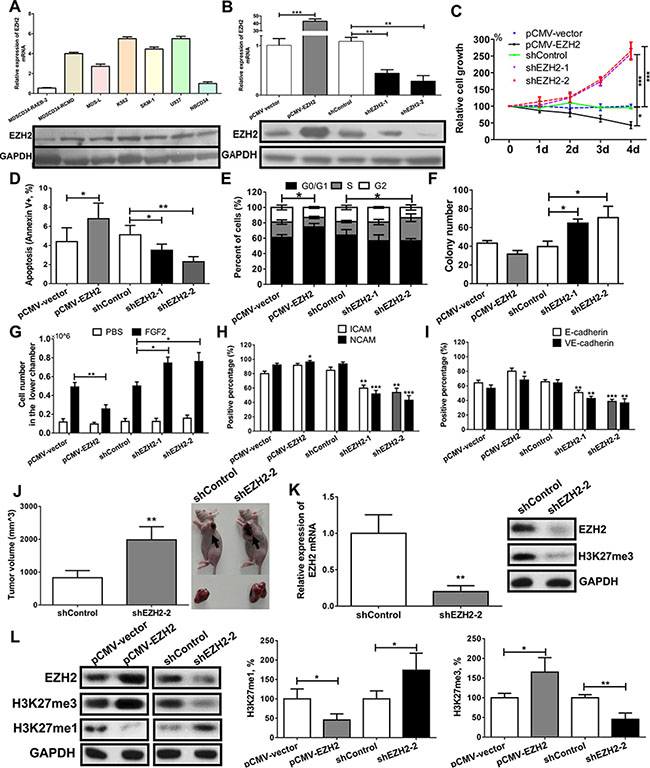 EZH2 knockdown enhances malignant phenotypes in an MDS-derived cell line.