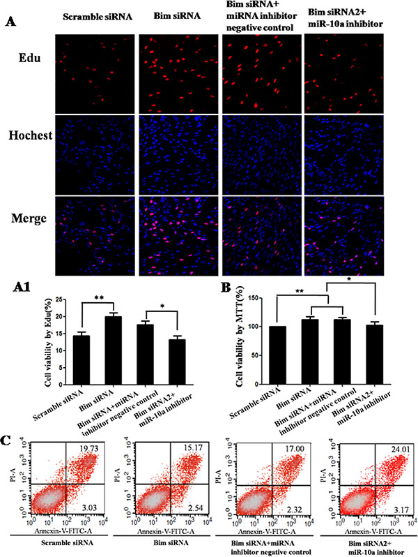 Cell growth analysis in VCT cells transfected by Bim siRNA with or without miR-10a inhibitor.