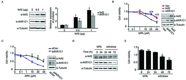 AKR1C1 mediated Nrf2-driven progestin-resistance.