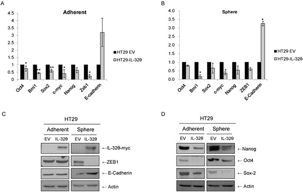 IL-32θ inhibits stemness and epithelial-mesenchymal transition (EMT) of HT29 cells.