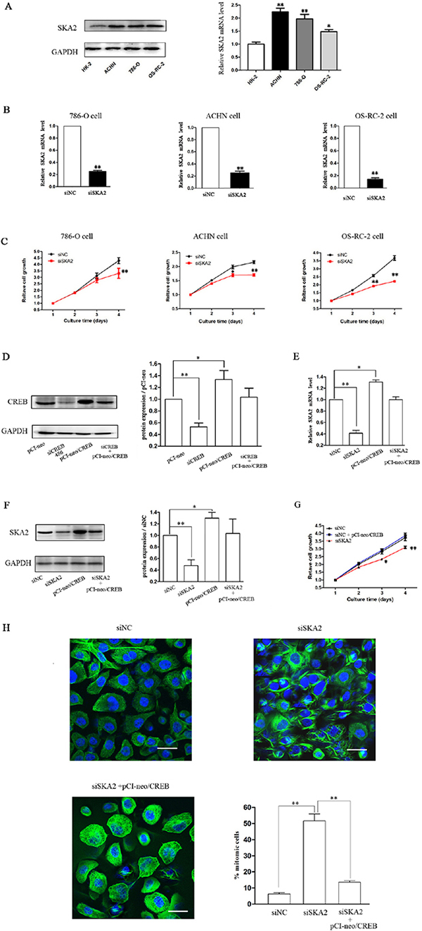 SKA2 is involved in CREB-regulated cell proliferation.