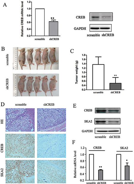Down-regulation of CREB suppresses xenograft tumor formation and reduces SKA2 expression in vivo.