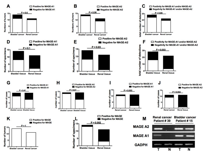 Frequencies of MAGE-A1 and MAGE-A2 gene expression in bladder and renal cancers as well as in bladder and renal apparently free-of-tumor tissues.