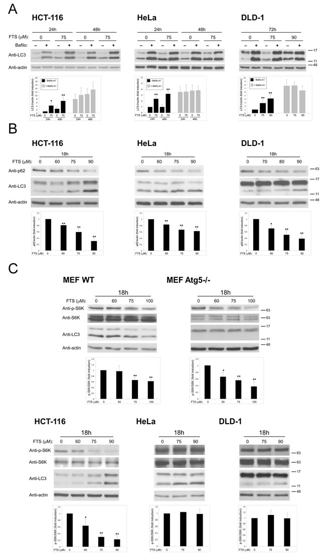 FTS induces autophagy in cancer cell lines (A) HCT-116, HeLa and DLD-1 cell lines were treated for the indicated times with FTS (75 µM or 90 µM), with or without 10 nM bafilomycin A
