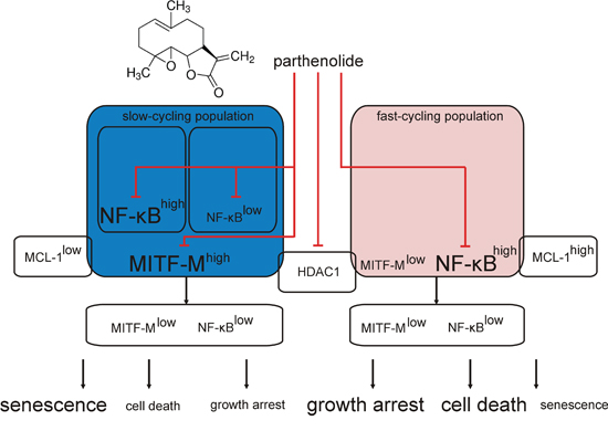 Schematic model of parthenolide (PN) activity in MITF-Mhigh and MITF-Mlow patient-derived melanoma cell populations.
