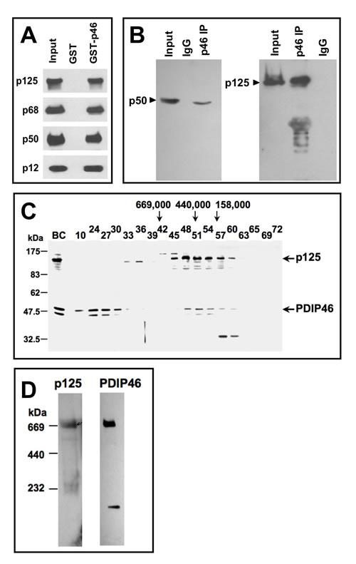 Association of PDIP46 with Pol δ by co-immunopreciptation, gel filtration, and native gradient gel electrophoresis.