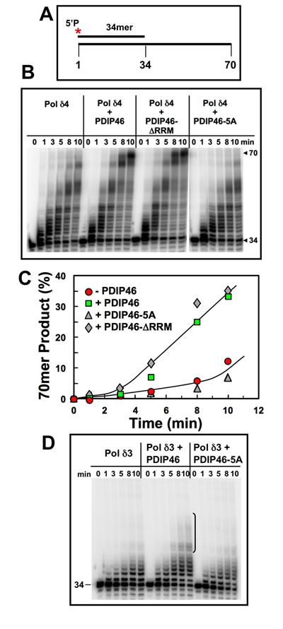 PDIP46 and PDIP46-∆RRM but not PDIP46-5A stimulate primer extension by Pol δ4 on oligonucleotide substrates in the absence of PCNA.