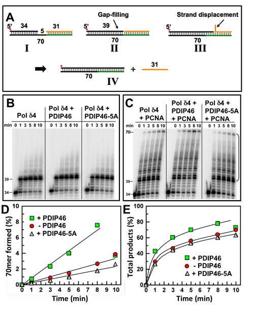 PDIP46 stimulates strand displacement by Pol δ4.