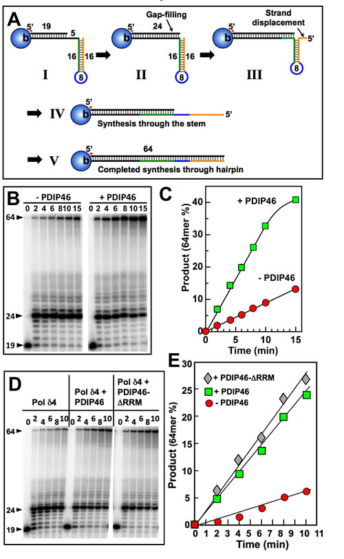 PDIP46 stimulates primer extension by Pol δ4 through a template with a hairpin.