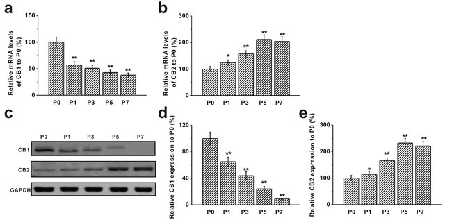 Expression of CB1 and CB2 receptors in mouse BM-MSCs.