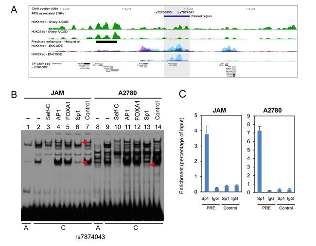 Chromatin structure and DNA-protein interactions surrounding the 9p22 PFS-associated SNPs.
