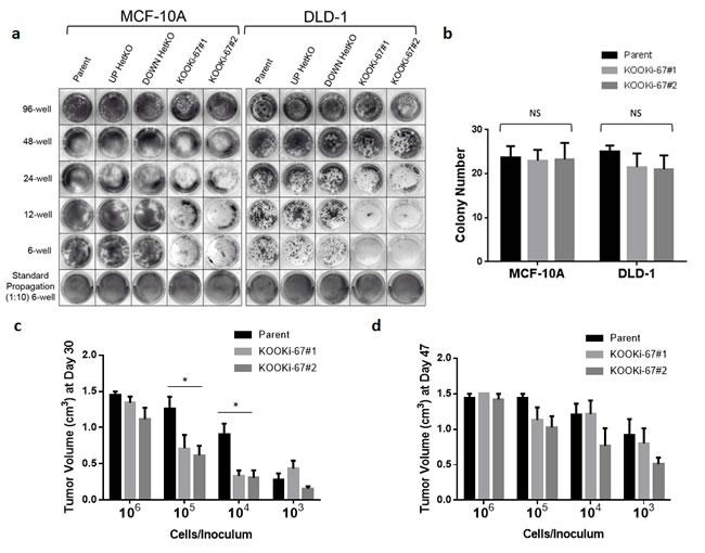 Ki-67 null cells have decreased clonogenic proliferation