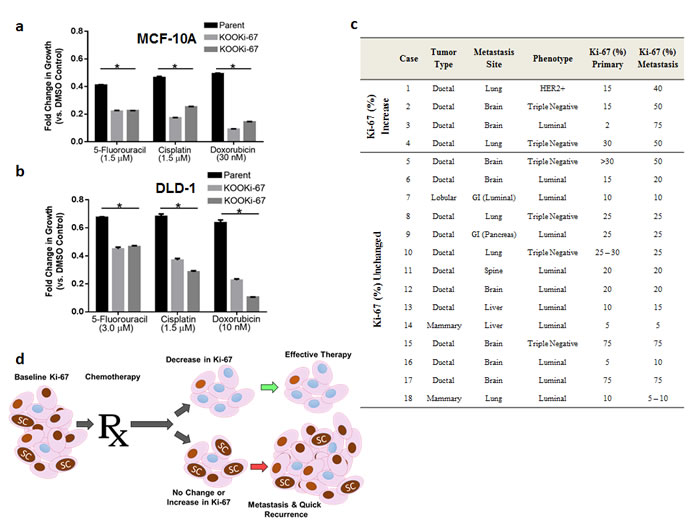 Ki-67 expressing cells are relatively resistant to chemotherapy and persistent Ki-67 expression is present in metastatic tumors.