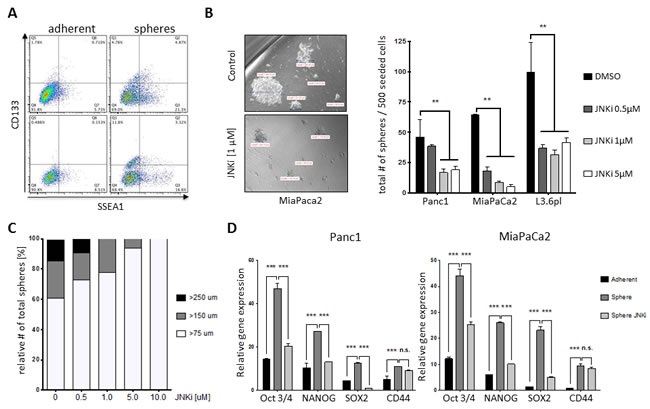 JNK inhibition attenuates stemness potential of PDAC.