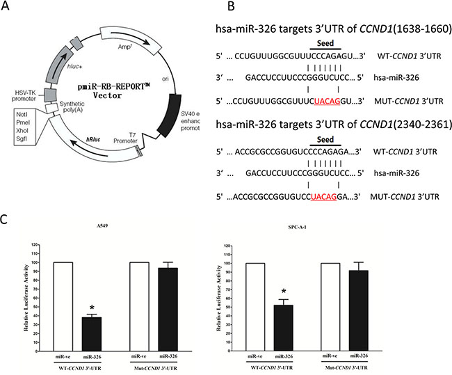 CCND1 proto-oncogene is a target of miR-326 at specific 3′-UTR sites.