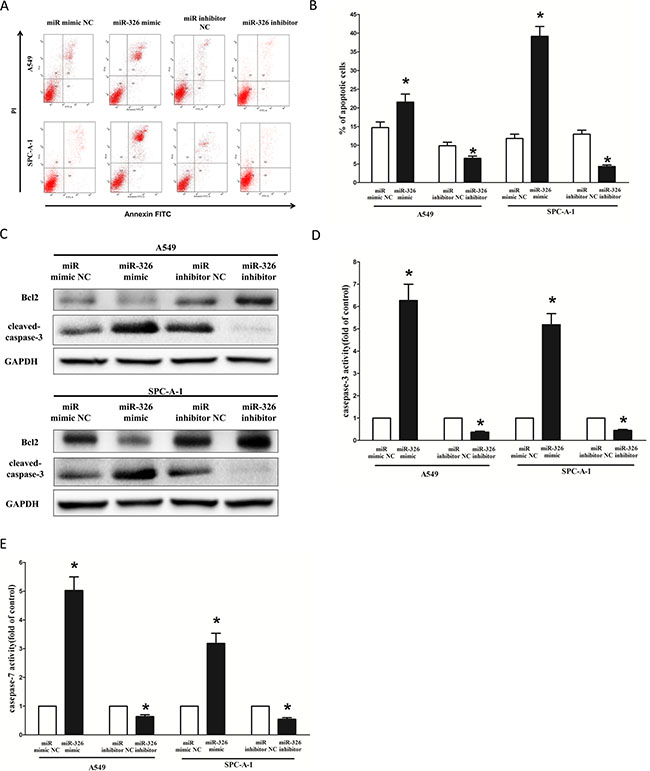 Ectopic expression of miR-326 promotes apoptosis in A549 and SPC-A-1 cells.