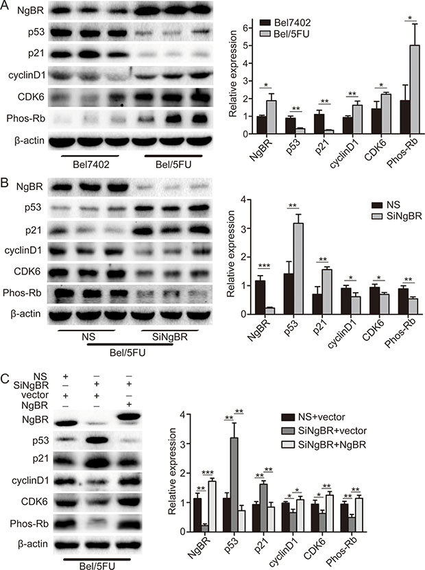 NgBR regulates p53 protein expression in Bel/5FU cells.