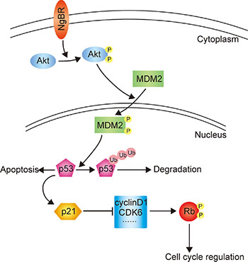 The proposed working model elucidating the roles of NgBR in regulating the chemoresistance of HCC cells.