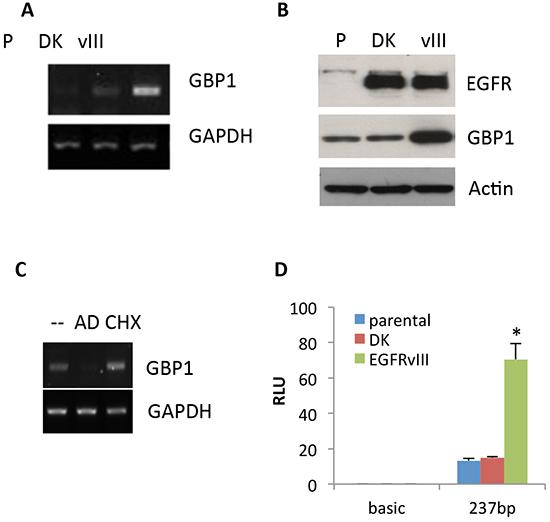 EGFRvIII promotes GBP1 expression.