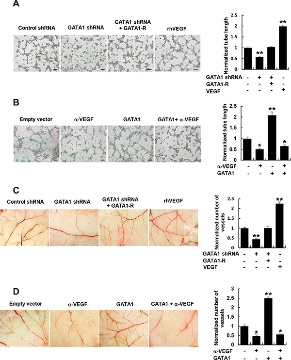 Cancer cell-secreted VEGF regulated by GATA1 modulates HUVEC tube formation and angiogenesis.