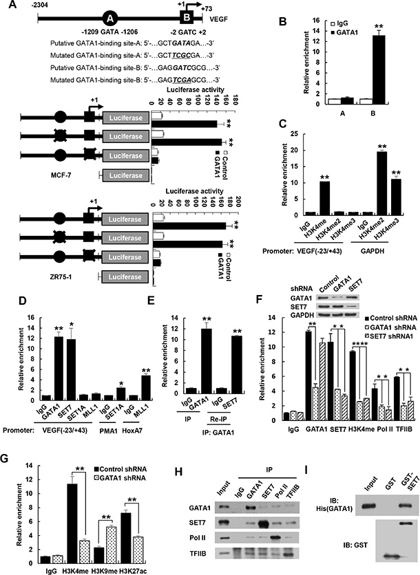 GATA1 is required for recruitment of SET7 and RNA polymerase II to VEGF promoter.