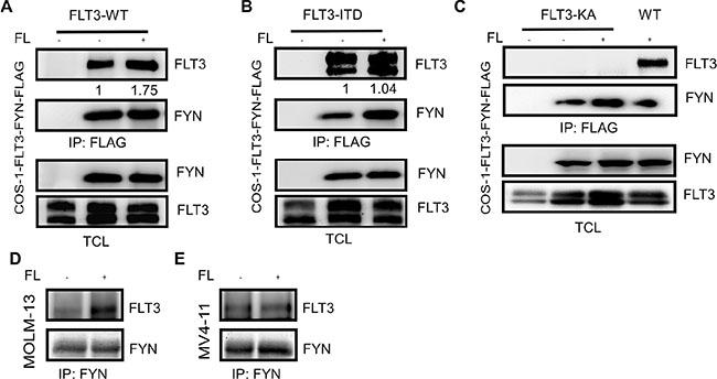 FLT3 associates with FYN in a phosphorylation-dependent manner.
