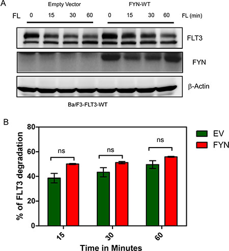FYN expression does not affect FLT3-ITD stability.