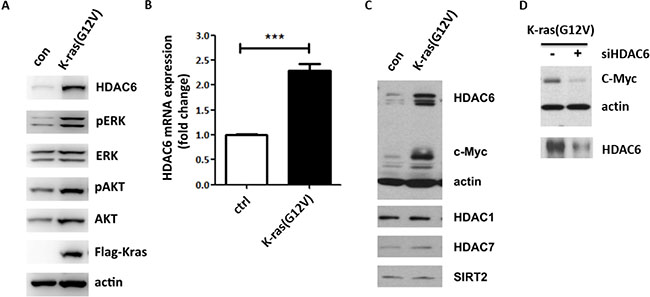 HDAC6 and c-myc expressions are induced by activated K-ras in fibroblasts.