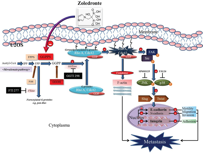 The schematic representation of anti-metastasis effects of zoledronate in human osteosarcoma U2OS cells.