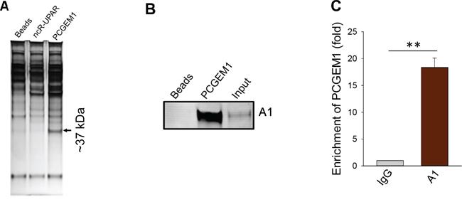 Identification of hnRNP A1 as a PCGEM1 binding partner.