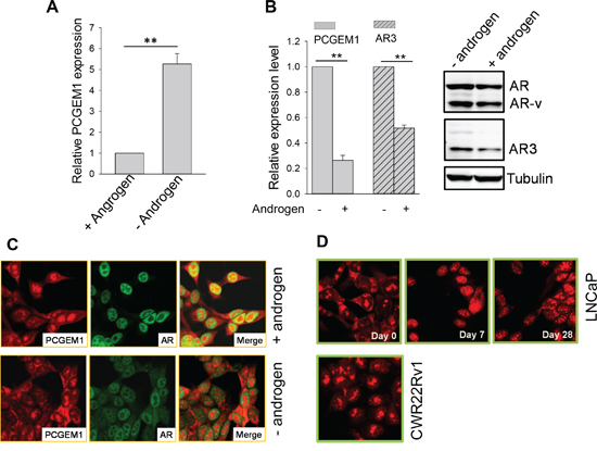Androgen deprivation induces PCGEM1 expression and its subcellular re-localization.