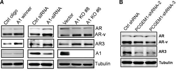 Regulation of AR3 by hnRNP A1 and PCGEM1.