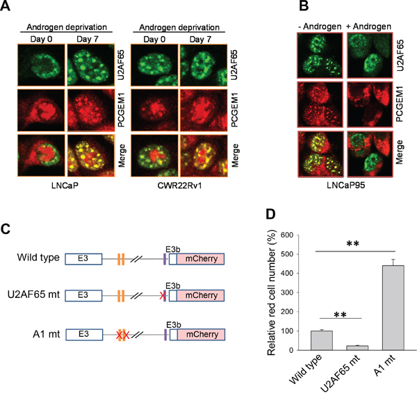 Co-localization of PCGEM1 and U2AF65 in nuclear speckles and the role of the binding sites of hnRNP A1 and U2AF65 in AR3 expression.
