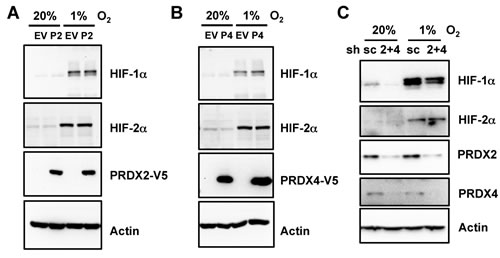 Expression of PRDX2 or PRDX4 does not affect HIF-1