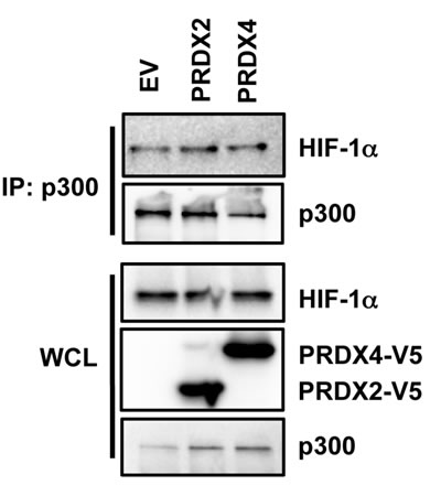 Effect of PRDX2 and PRDX4 on HIF-1