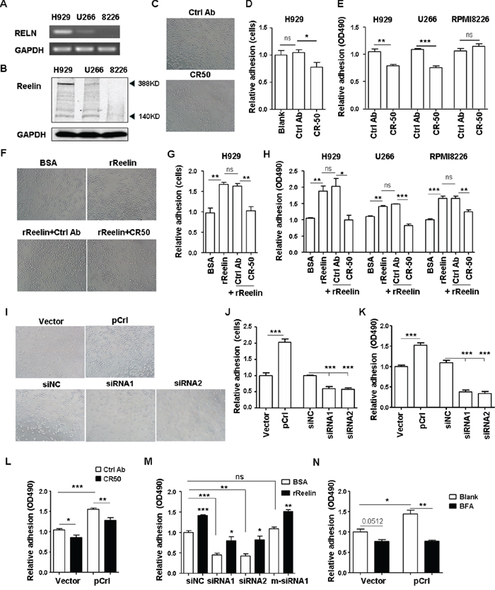 Reelin promotes the adhesion of HMCLs to FN.