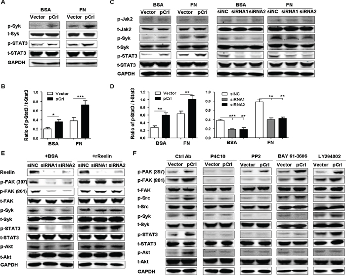 Reelin promotes the activation of Syk and STAT3 via integrin β1.