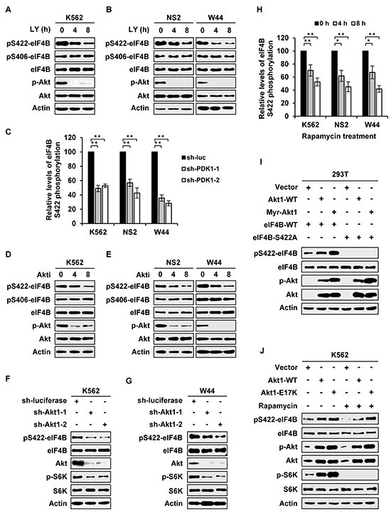 eIF4B phosphorylation is regulated by PI3K/Akt/mTOR pathway in Abl transformants.