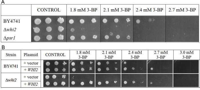 Δwhi2 deletion mutant showed sensitivity to 3-BP in BY4741 background.