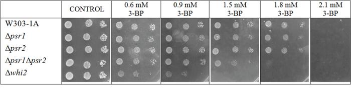 In W303 background Δwhi2 as well as Δpsr1Δpsr2 mutants showed sensitivity to 3-BP, whereas Δpsr1 did not.