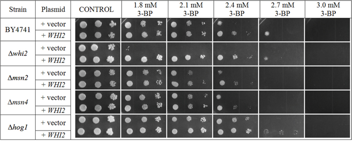Transformation with multicopy plasmid containing the WHI2 gene improves resistance to similar levels of 3-BP in every strain tested (Δwhi2, Δmsn2, Δmsn4, WT).